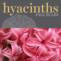 Sweetpea's - Shop Hyacinth Bulbs