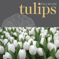 Sweetpea's - Shop Tulips Bulbs