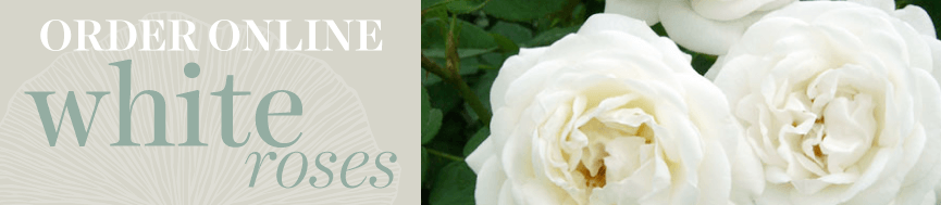 Sweetpea's Toronto Florist - White Rose Bouquets for Delivery