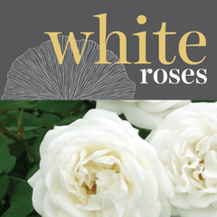 Sweetpea's Toronto Florist - Fresh White Roses for Valentine's Day Toronto Delivery