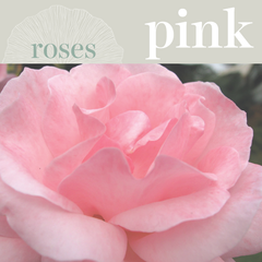 Sweetpea's - Order Pink Roses for Toronto Delivery