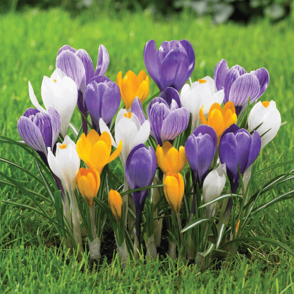 Crocus, 'Mixed'