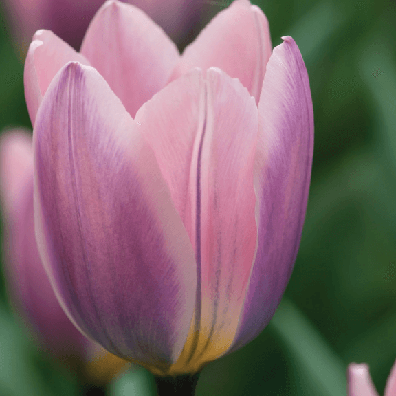 Tulip, 'Light & Dreamy'