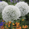 Allium, 'Mount Everest'