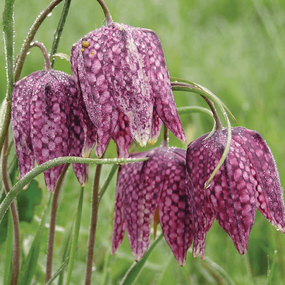 Specialty Bulbs, 'Fritillaria Meleagris'