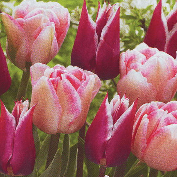 Tulip, 'Second Waltz'