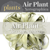 Air Plants - Xerographica