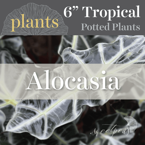 Potted Plants - Alocasia (6