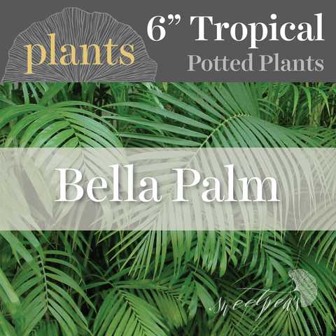 Potted Plants - Bella Palm (6