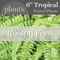 Potted Plants - Boston Fern (6