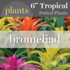 Potted Plants - Bromeliad (6