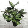 Potted Plants - Calathea (4
