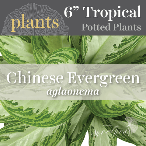 Potted Plants - Chinese Evergreen 'aglaonema' (6