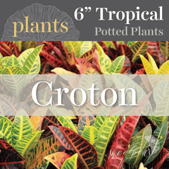 Potted Plants - Croton (6