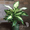 Potted Plants - Diffenbachia (6