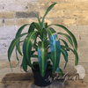 Potted Plants - Dracaena 'Corn Plant' (6