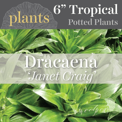 Potted Plants - Dracaena 'Janet Craig' (6