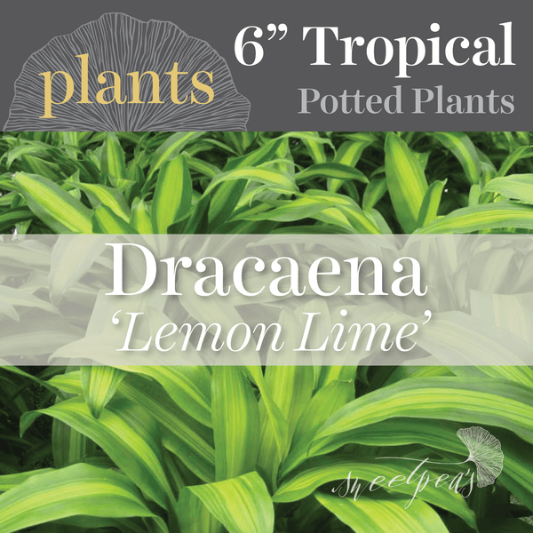 Potted Plants - Dracaena 'Lemon Lime' (6