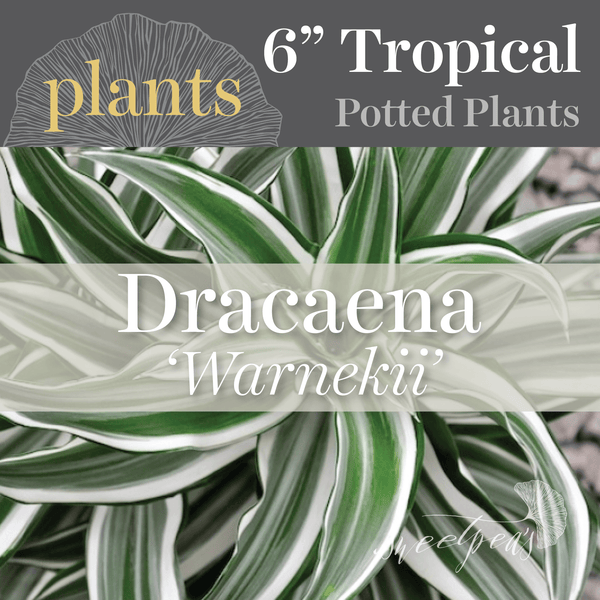 Potted Plants - Dracaena 'Warnekii' (6