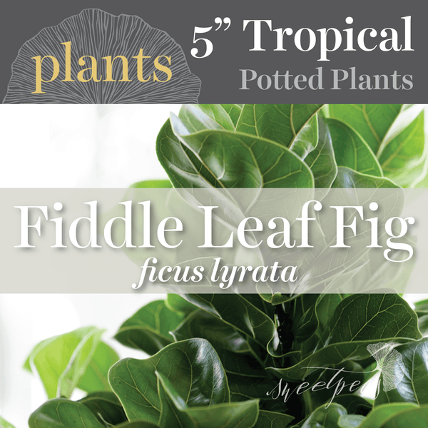 Potted Plants - Fiddle Leaf Fig (5