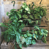 Potted Plants - Philodendron, Heartleaf (6