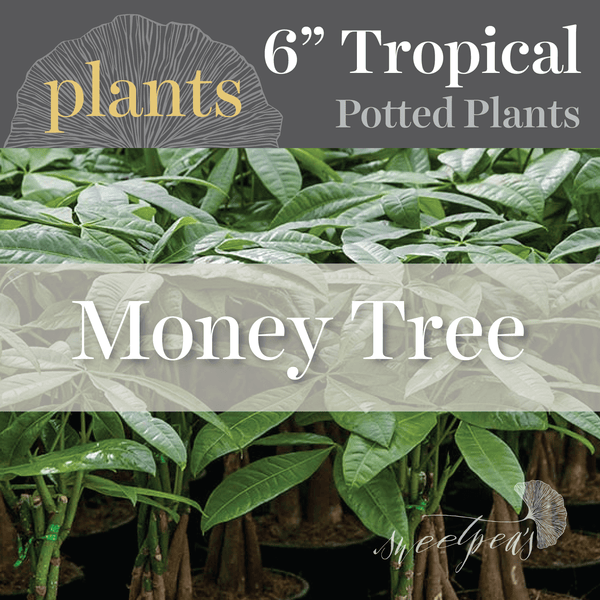 Potted Plants - Money Tree (6