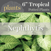 Potted Plants - Nephthytis (6