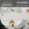 Potted Plants - Phalaenopsis Orchid
