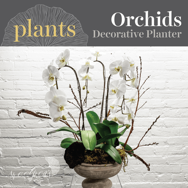 Potted Plants - Phalaenopsis Orchid (Multiple)