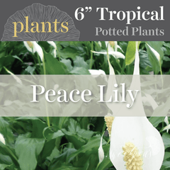 Potted Plants - Peace Lily (6
