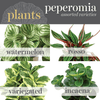 Potted Plants - Pepermonia (6