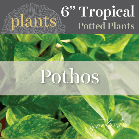 Potted Plants - Pothos (6