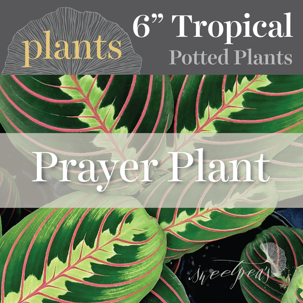 Potted Plants - Prayer Plant (6