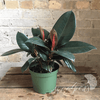 Potted Plants - Rubber Plant (6