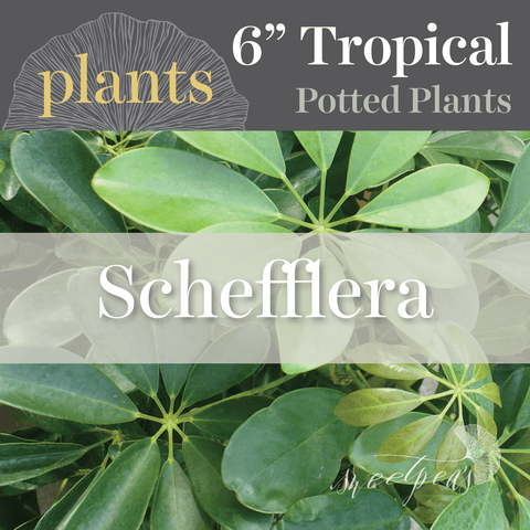 Potted Plants - Schefflera (6