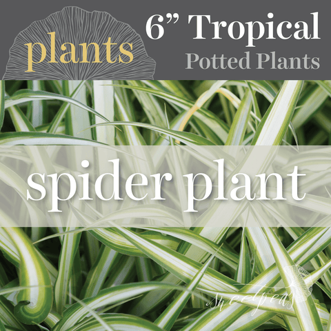 Potted Plants - Spider Plant (6