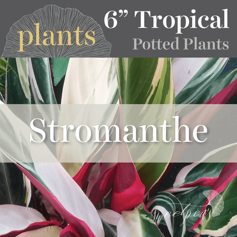 Potted Plants - Stromanthe (6