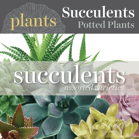 Potted Plants - Succulents (Assorted)