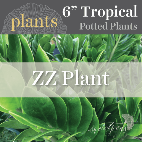 Potted Plants - ZZ Plant (6