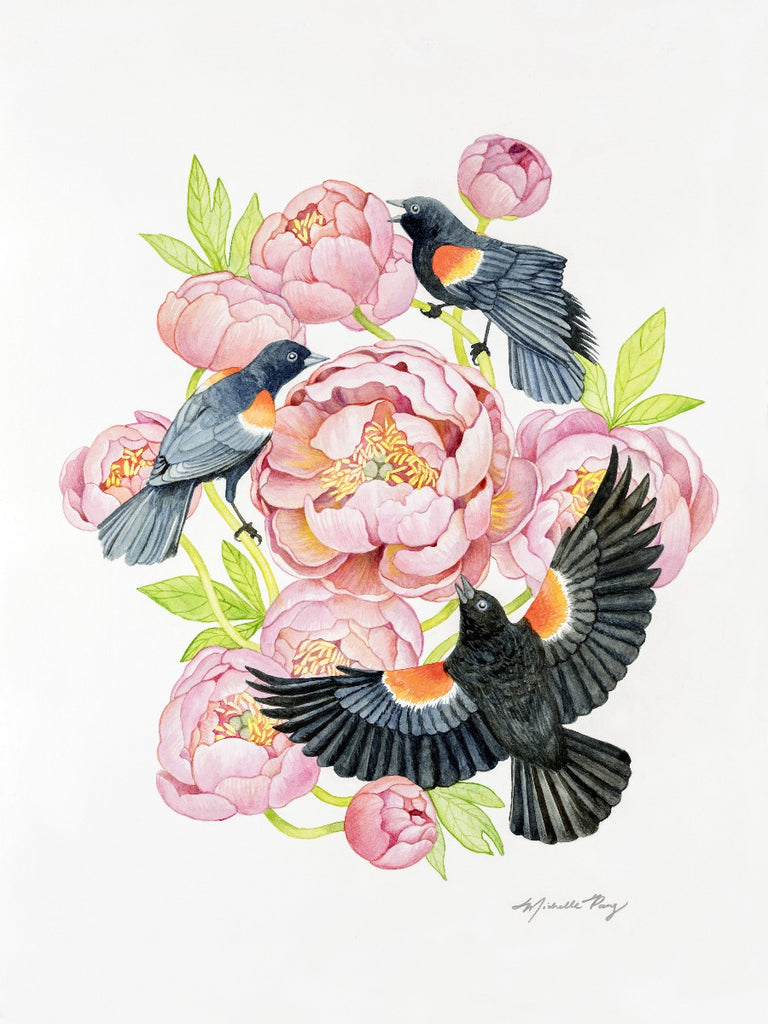 Red Winged Blackbirds and Coral Peonies Watercolor Illustration Fine Art Print