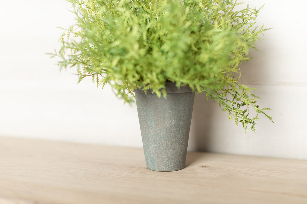 Potted Feather Fern
