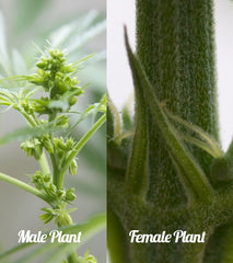male and female cannabis plant difference