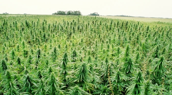 CBD Oil Extract - Crop of industrial hemp as far as the eye can see