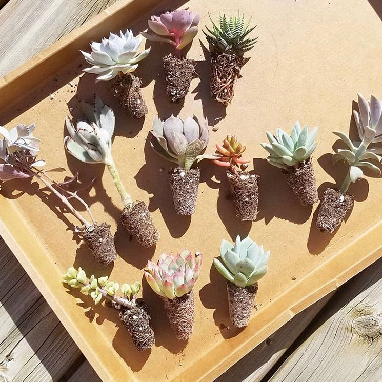 Assorted Succulent Plugs
