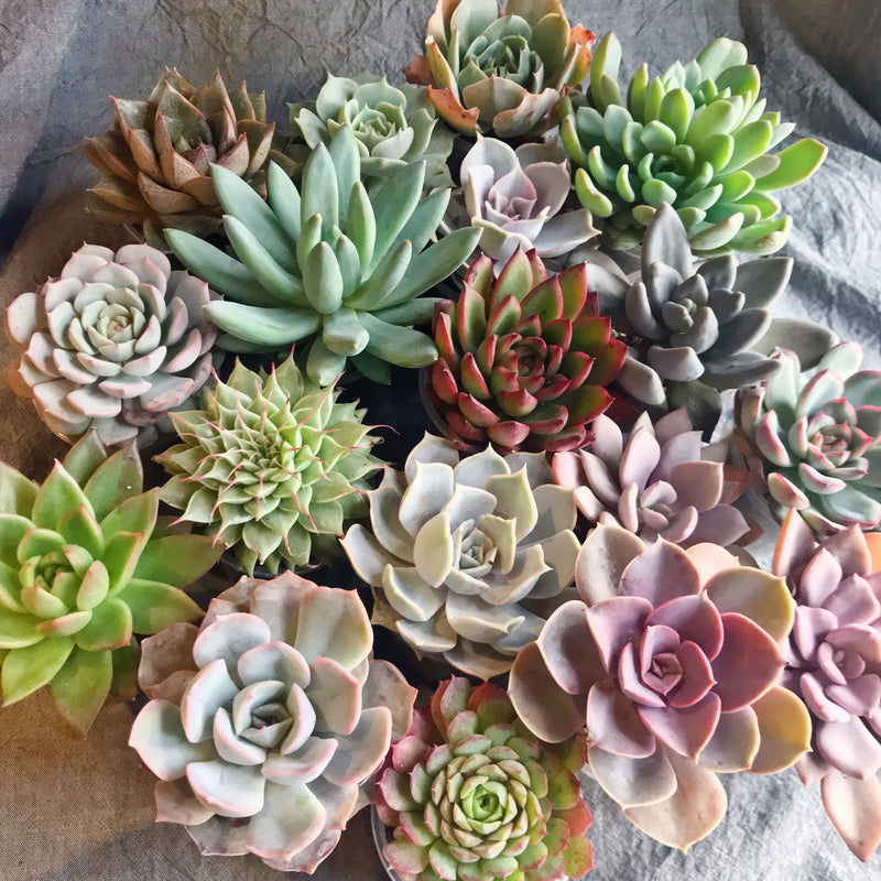Assorted Succulent Medium