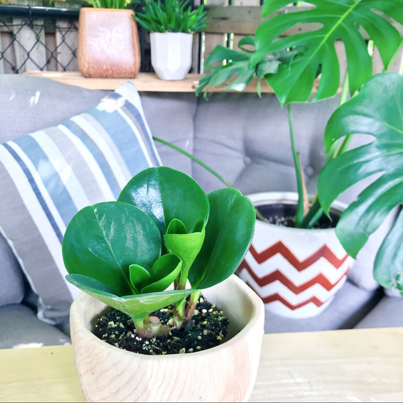 Large Green Leaf Peperomia