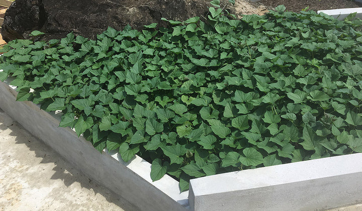 Growing Sweet Potatoes for Year Around Yields