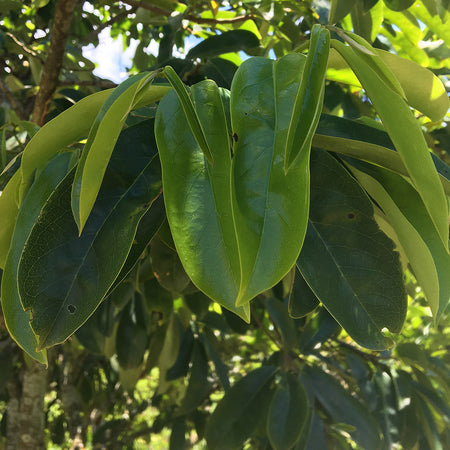 Guanabana Leaves (qty 30)