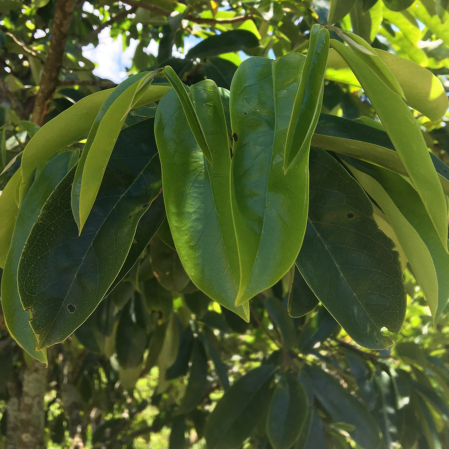 Guanabana Leaves (qty 100)