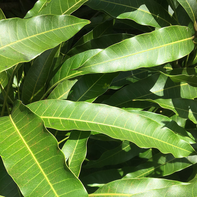 Mango Leaves (qty 100)